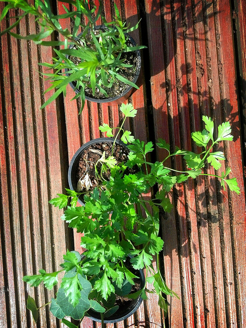 Nasturtium, Tarragon & Flat Leaf Parsley for the garden