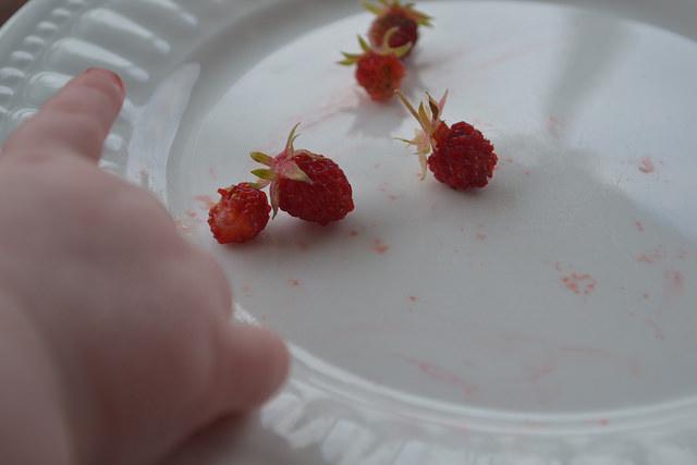 Wild Strawberries devoured by little hands.