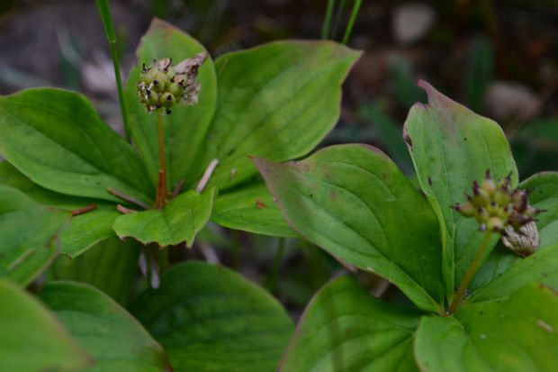 Bunchberry blossoms replaced by berries within a week.