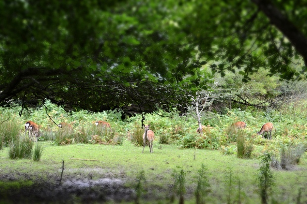 Deer on Innisfallen Island